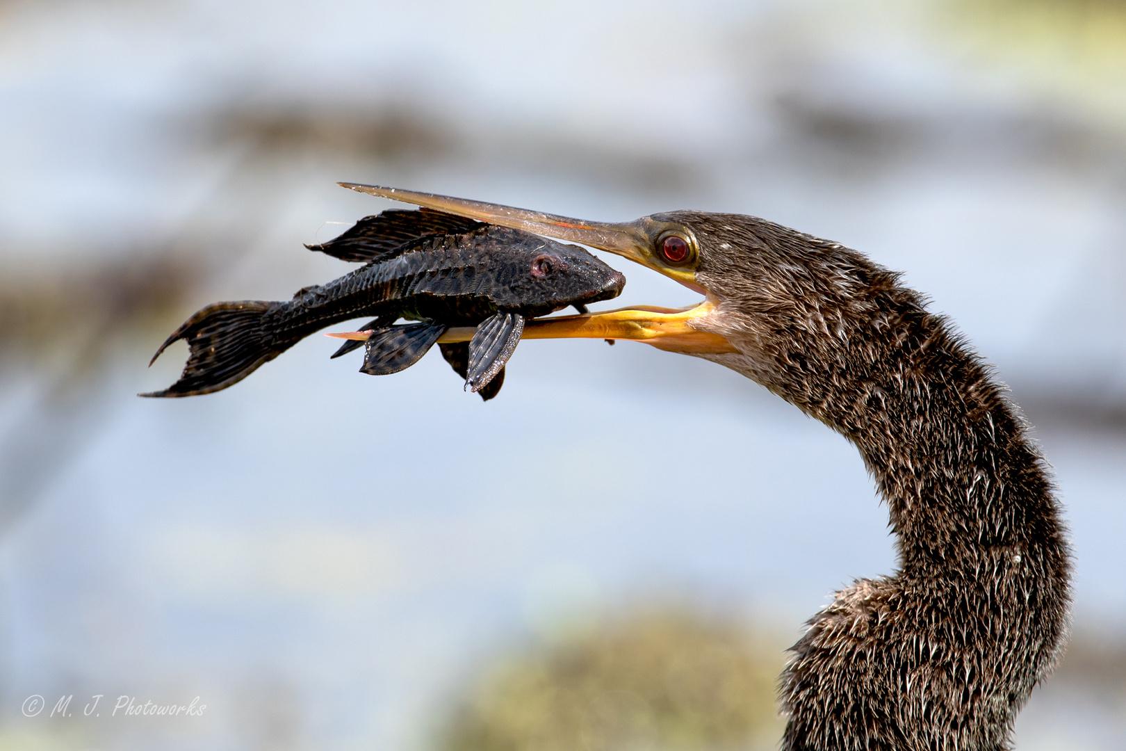 Anhinga with Catch