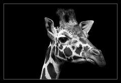 Animal on Black #011