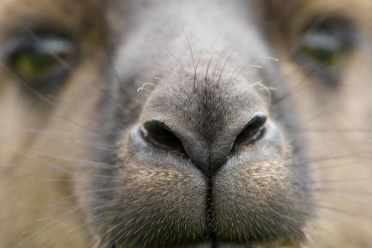 Animal Portraits, Graues Riesenkänguru