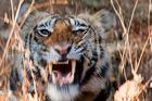 Animal Portraits. Indischer Tiger