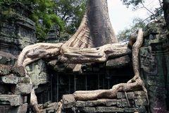 Ankor-Wat -Baumwurzel als Teil eines Tempels