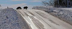 Ankunft der Wölfe nun auch auf der Nollendorfer Höhe...