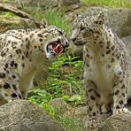 Anmache auf Leopardenart