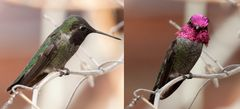 Annakolibri (Calypte anna)