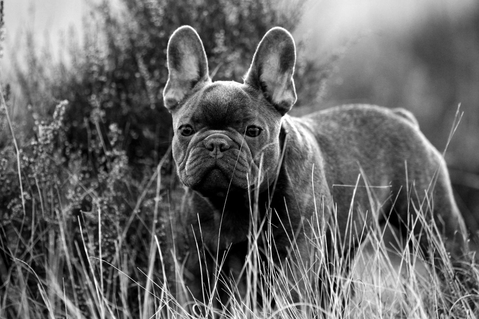 Anneliese - Französische Bulldogge
