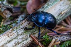 Anoplotrupes - Stack