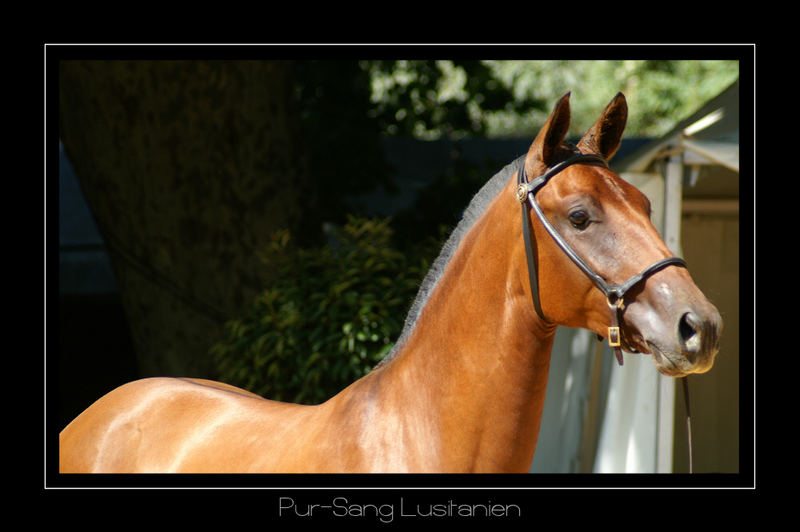Another lusitano