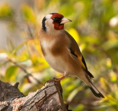 Another view of that Goldfinch today