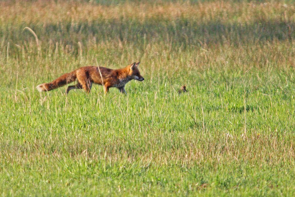 Anschleichender Fuchs