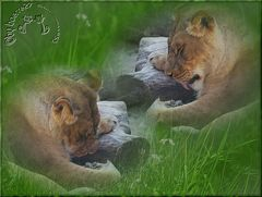 Anstrengendes Löwenleben