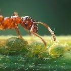 Ant (Mirmicidae spec) with aphids