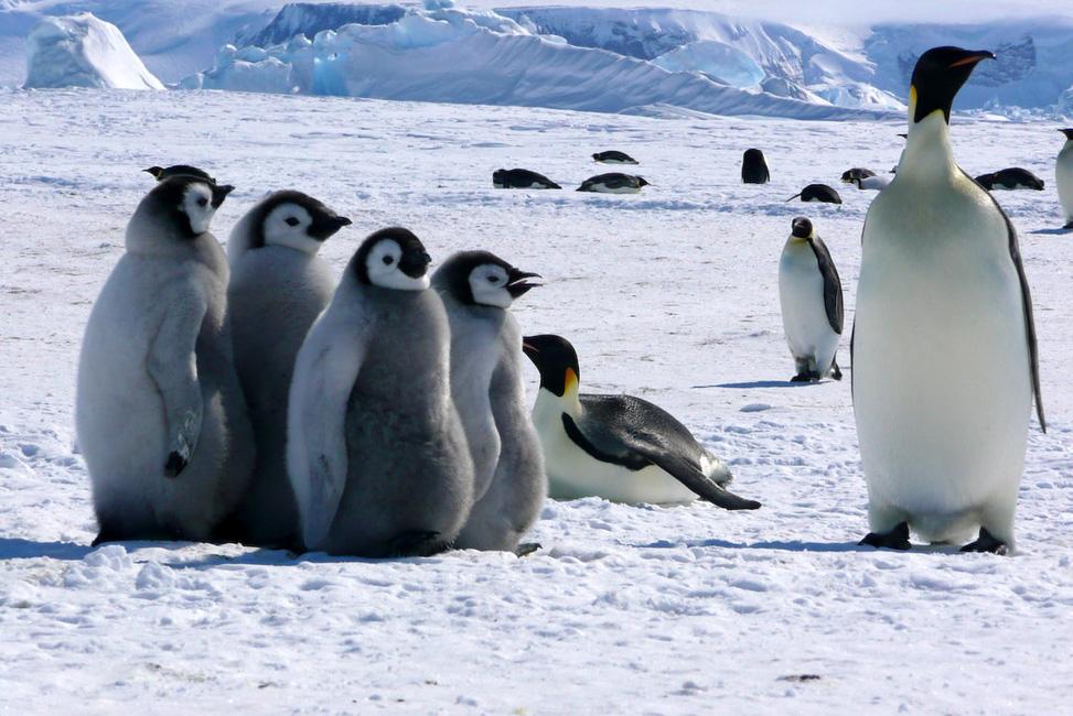 Antarctique : toute la famille est là