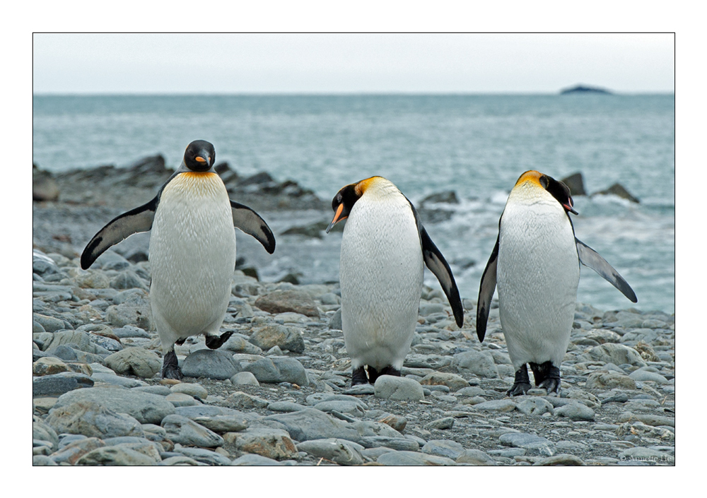 Antarktika [77] - Die drei Königspingis