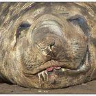 Antarktis 01: Seeelefant