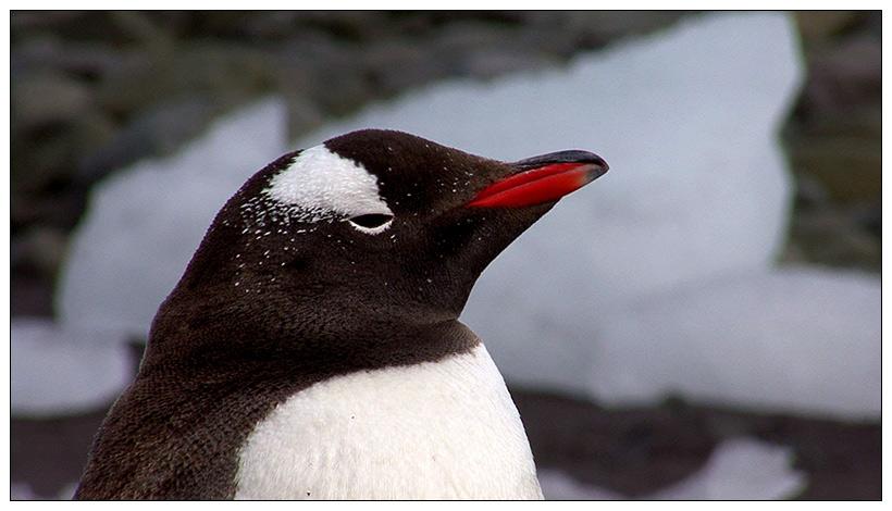 Antarktis 11: Eselspinguin