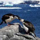 Antarktische Kormorane...