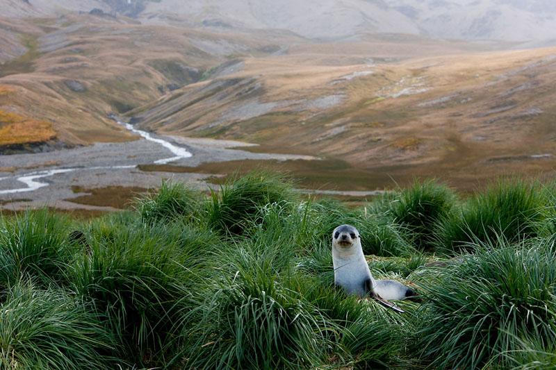 Antarktischer Seebär, Antarctic fur seal, South Georgia