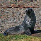 Antarktischer Seebär, Männchen
