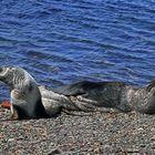 Antarktisches Seebären-Paar