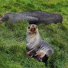 Antarktisches Seebärenpaar