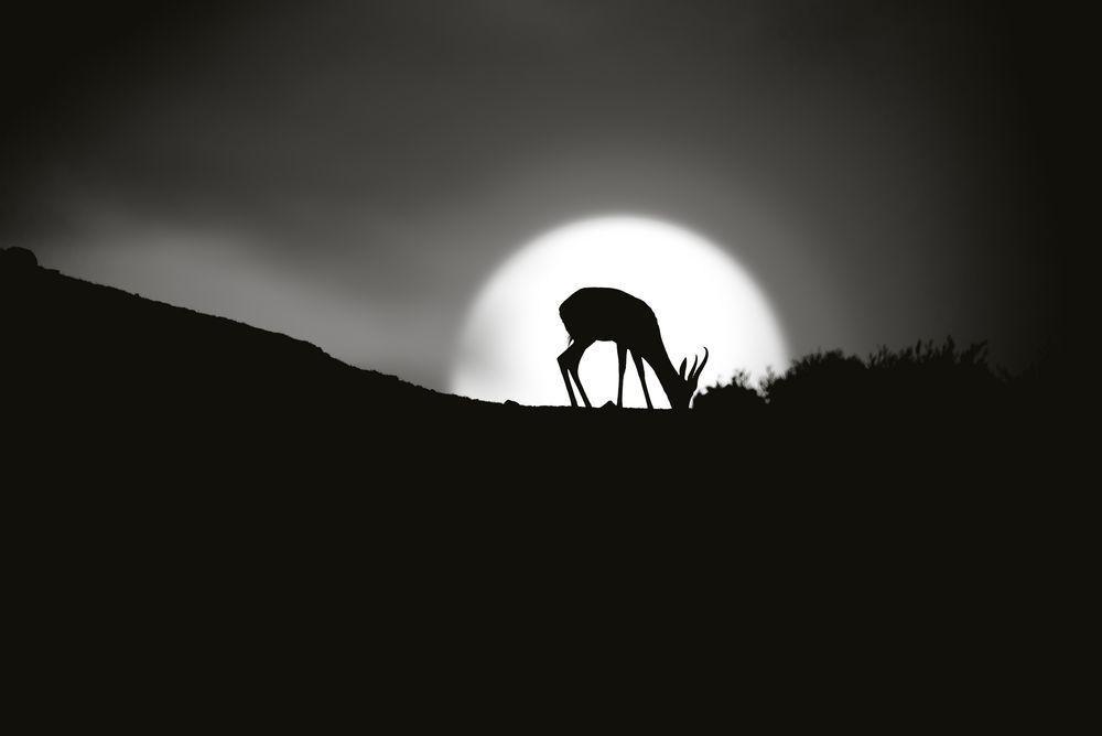 antelope in sunset