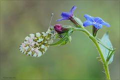 Anthocaris-cardamines-(male)