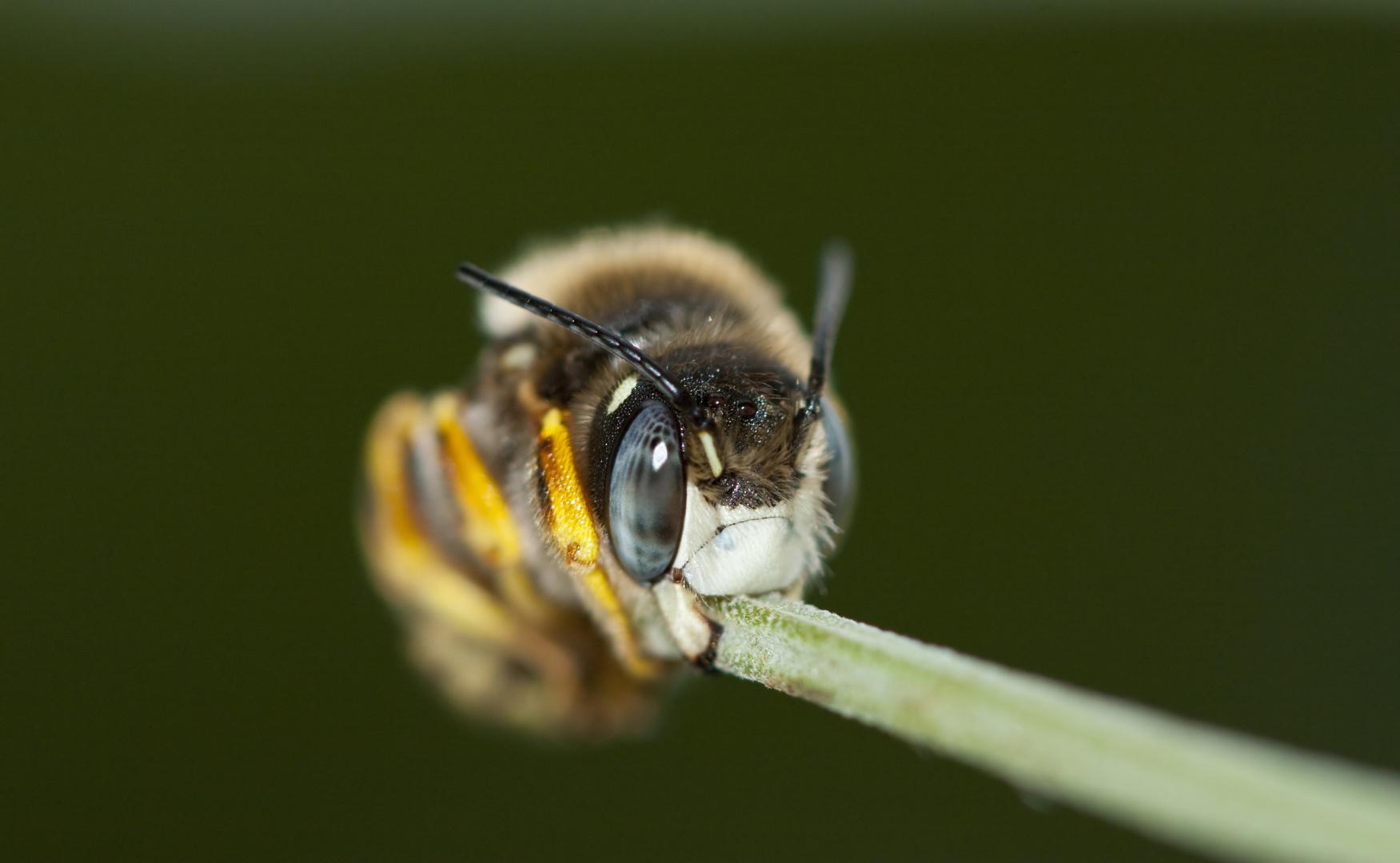 Anthophora bimaculata