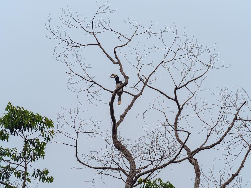 Anthracoceros albirostris