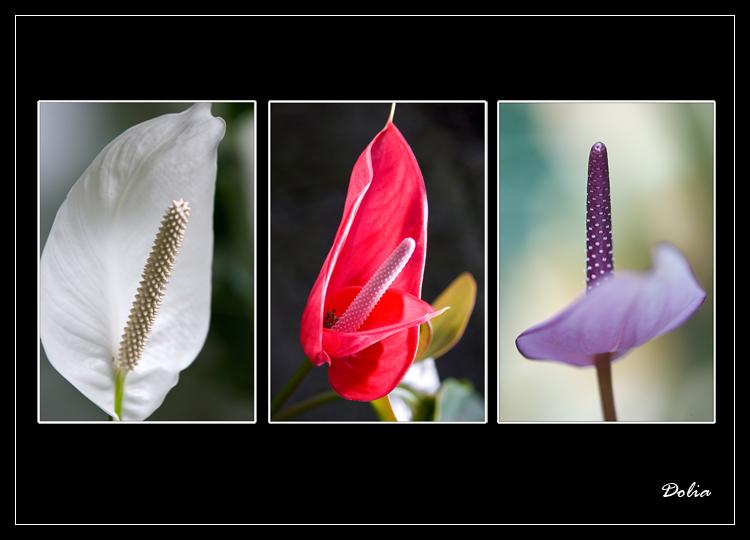 Anthurium dans toute sa beauté