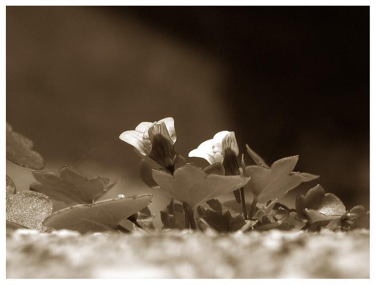 Antichi petali