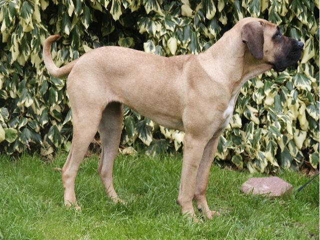 Antikdogge Bilana 11 Monate