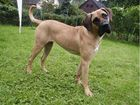 Antikdogge Bilana mit 11 Monaten
