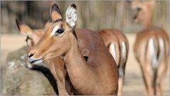 ... Antilope ...