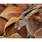 antilope fine art