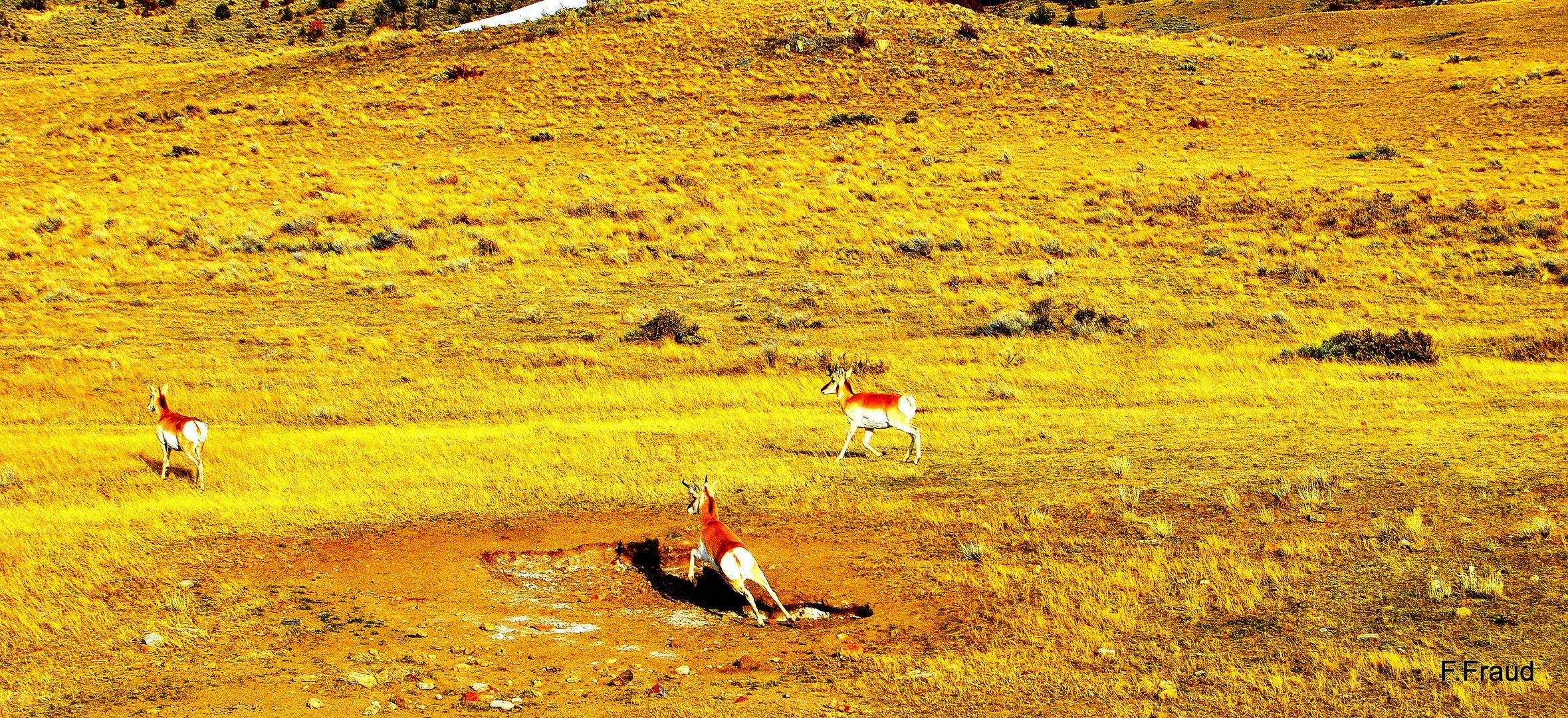 Antilopes d'Amérique surprise