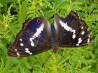 Apatura iris 2- § protected species