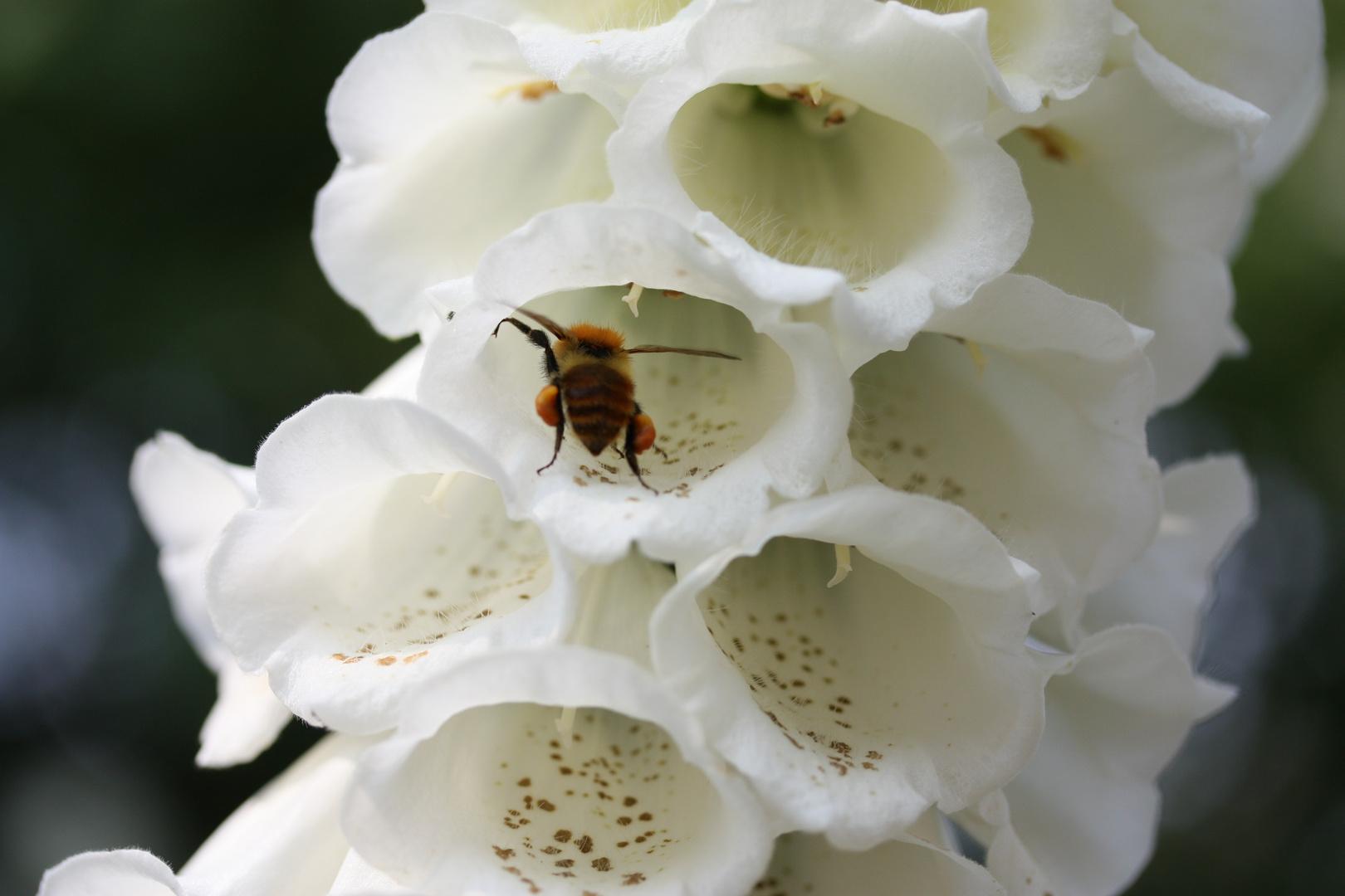 ape laboriosa