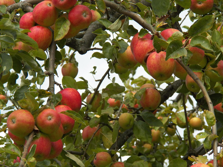 Apfel bezeichnet: eine essbare Frucht bzw. einen Baum der Art Malus domestica