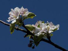 Apfel-Blüte