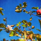 Apfel-Blüten-Ernte