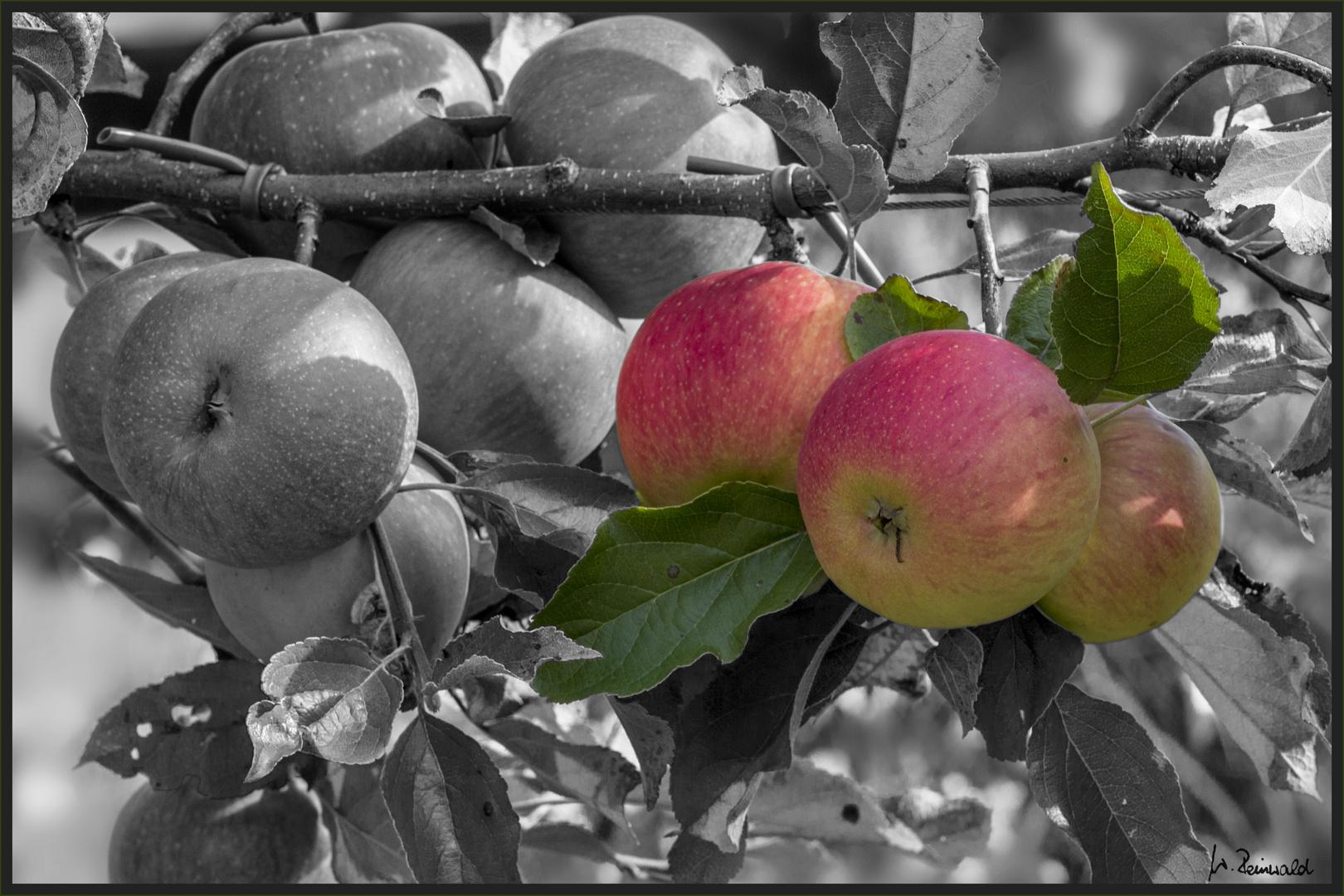 Apfel-CK