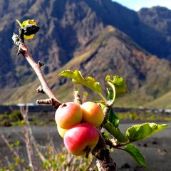 Apfel in Afrika