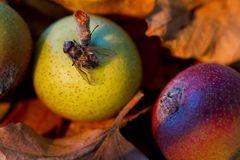 Apfel mit Fliege