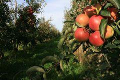 Apfel-Plantage