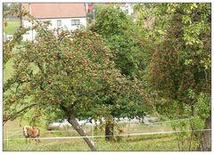 Apfelbäume am Dorfrand ...