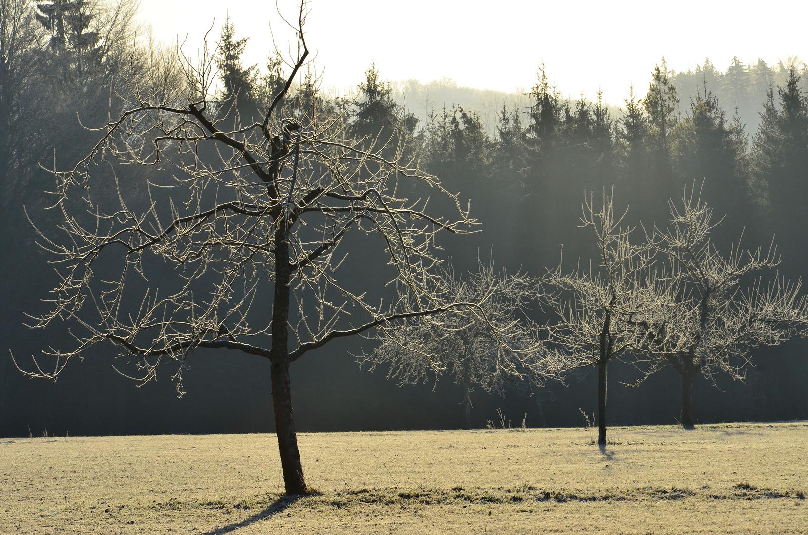 Apfelbäume im Winter