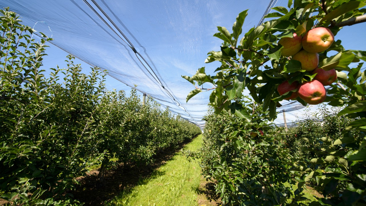 Apfelbäume unterm Schutznetz