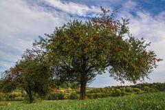 Apfelbaum ...