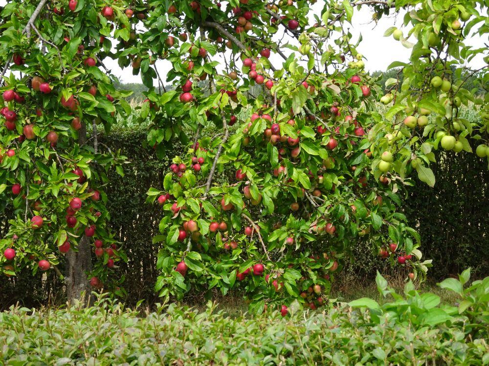 Pflanzzeit Apfelbaum