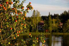Apfelbaum am Fluß